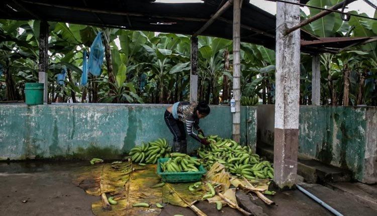 banane ecuador pesticidi
