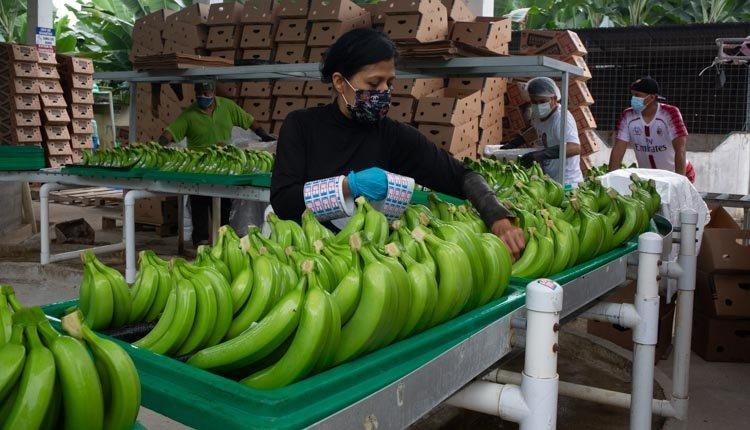 banane ecuador